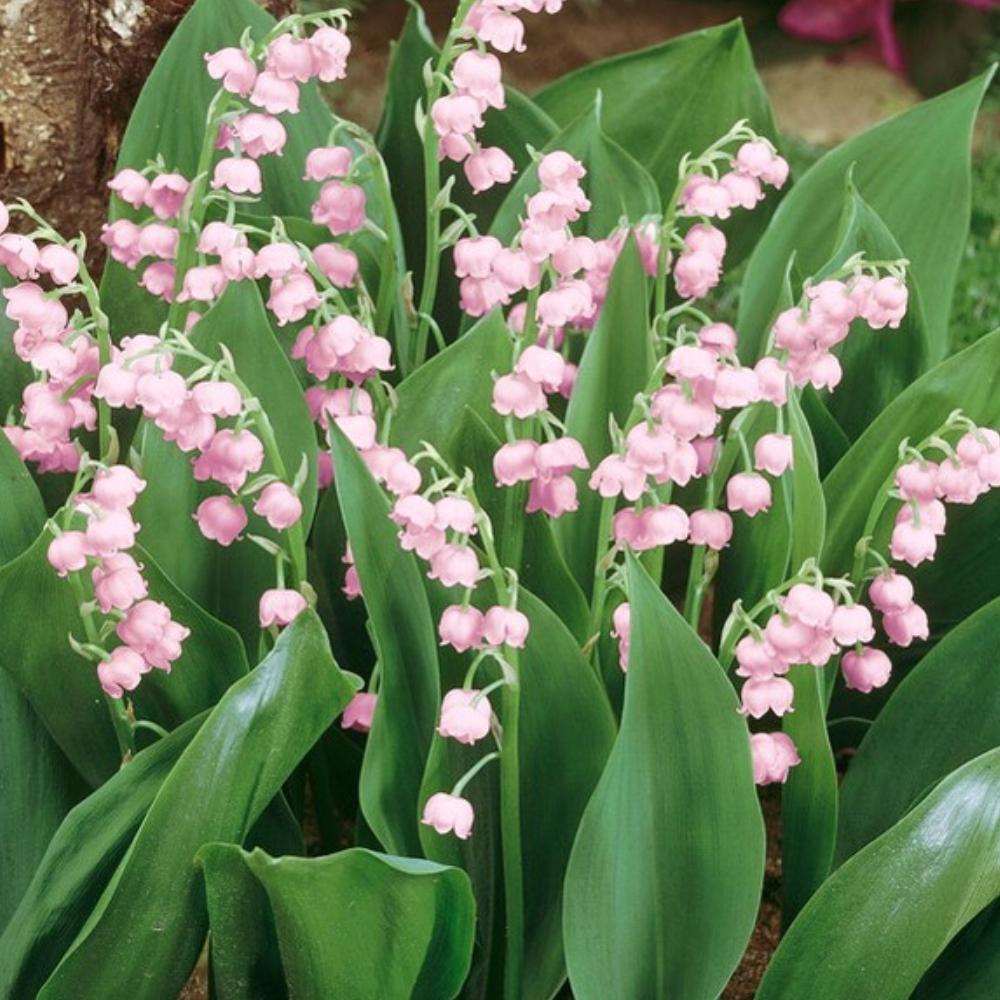 ピンク色のスズラン