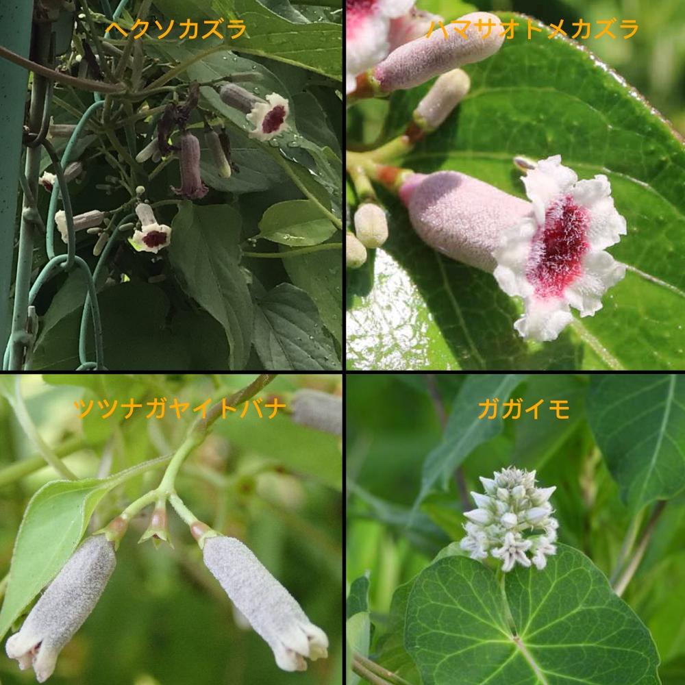 ヘクソカズラに似ている植物の画像