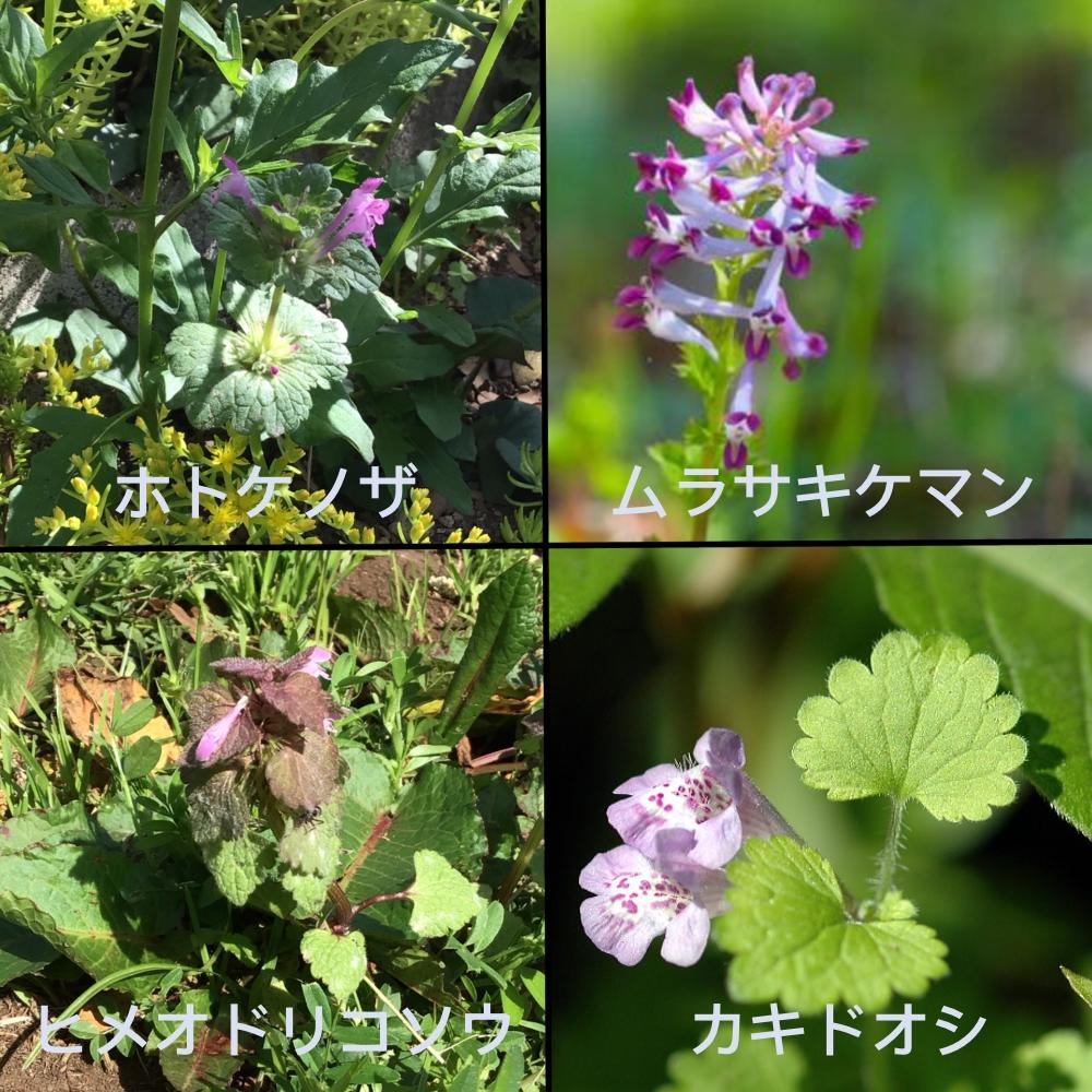ホトケノザに似ている花の画像