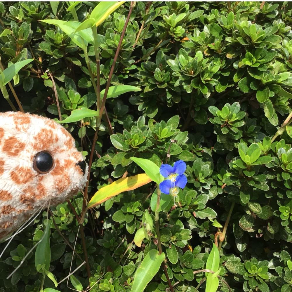 露草を見つめるアザラシの画像
