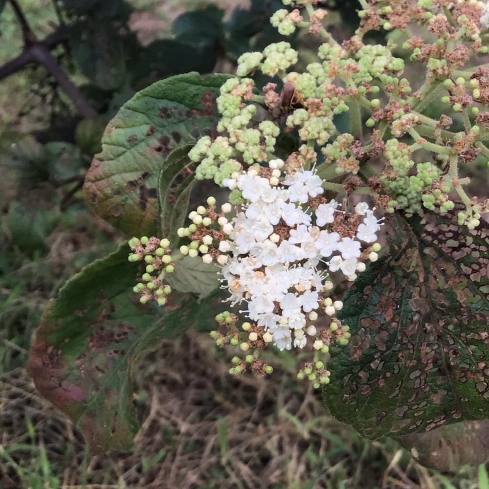 ガマズミ花の画像