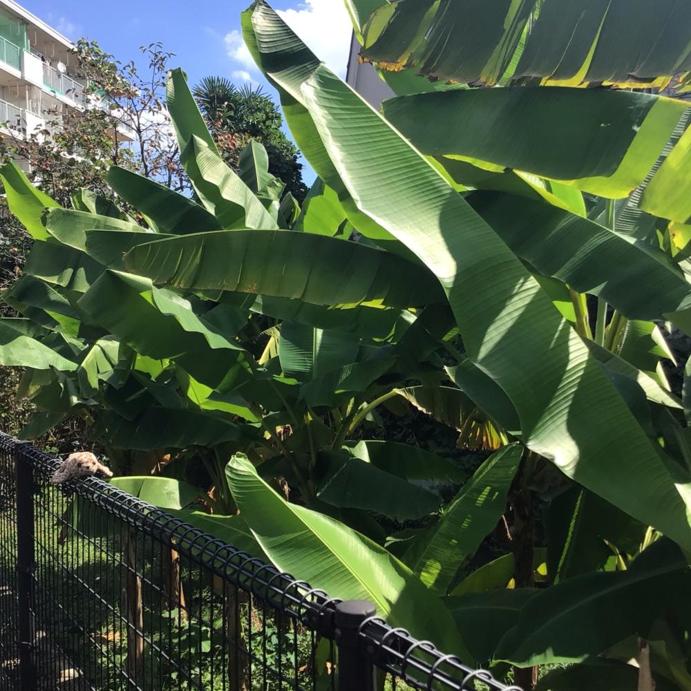 バナナの葉とアザラシの画像