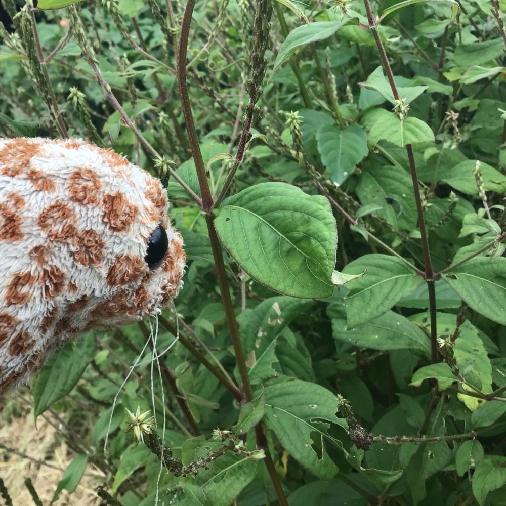 ヒナタイノコズチの葉の画像